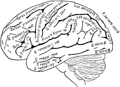 Наружная поверхность левого полушария головного мозга и мозжечка