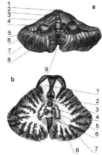 Мозжечок (Cerebellum)
