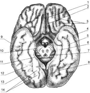 Нижняя поверхность большого мозга