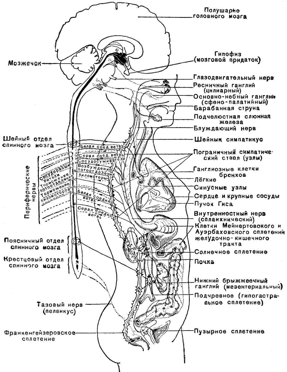 Схема общего плана строения вегетативной нервной системы