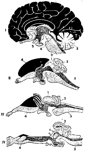 Развитие конечного мозга у позвоночных (по Эддингеру)