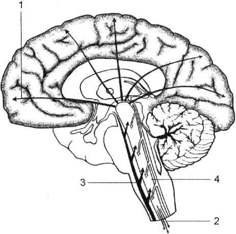 Ретикулярная формация ствола мозга