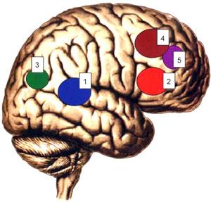 Схема локализации корковых концов анализаторов в коре большого мозга