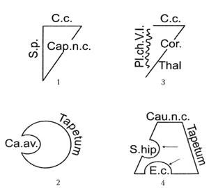 Схема строения отделов боковых желудочков