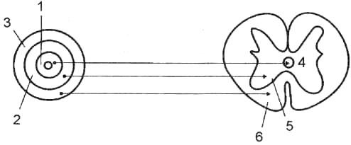 Схема слоев нервной трубки и их преобразований в спинном мозге