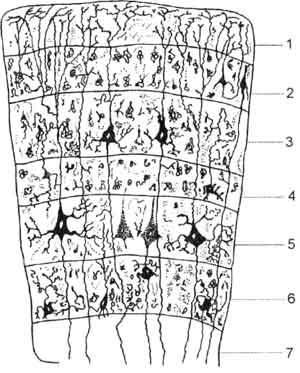 Схема слоев коры