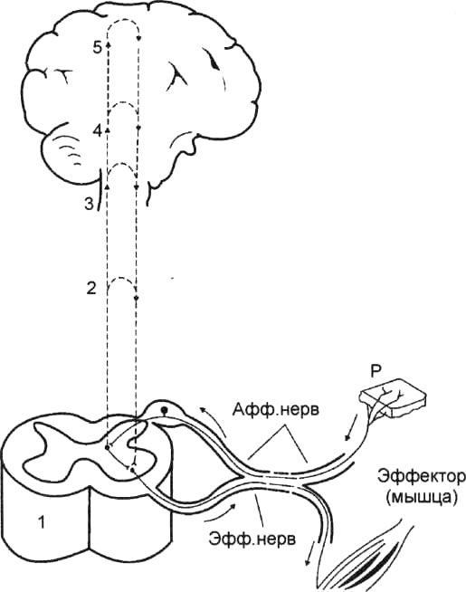 Схема сложной рефлекторной дуги
