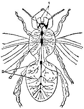 Узловая нервная система пчелы