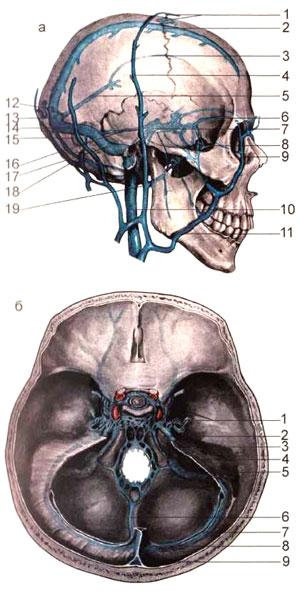 Венозные пазухи твердой мозговой оболочки и их связь посредством вен выпускников с поверхностными венами головы
