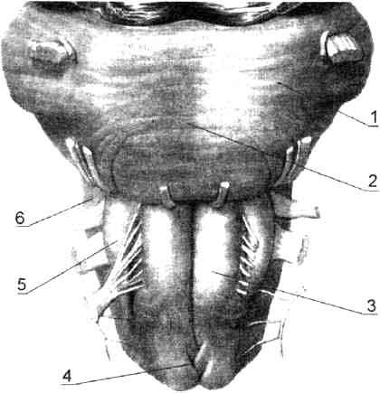 Вентральная поверхность ствола мозга