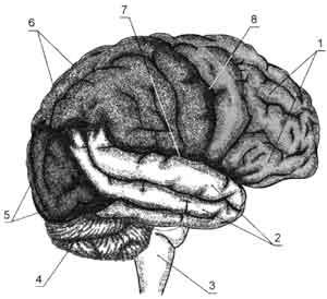 Верхнелатеральная поверхность правого полушария большого мозга