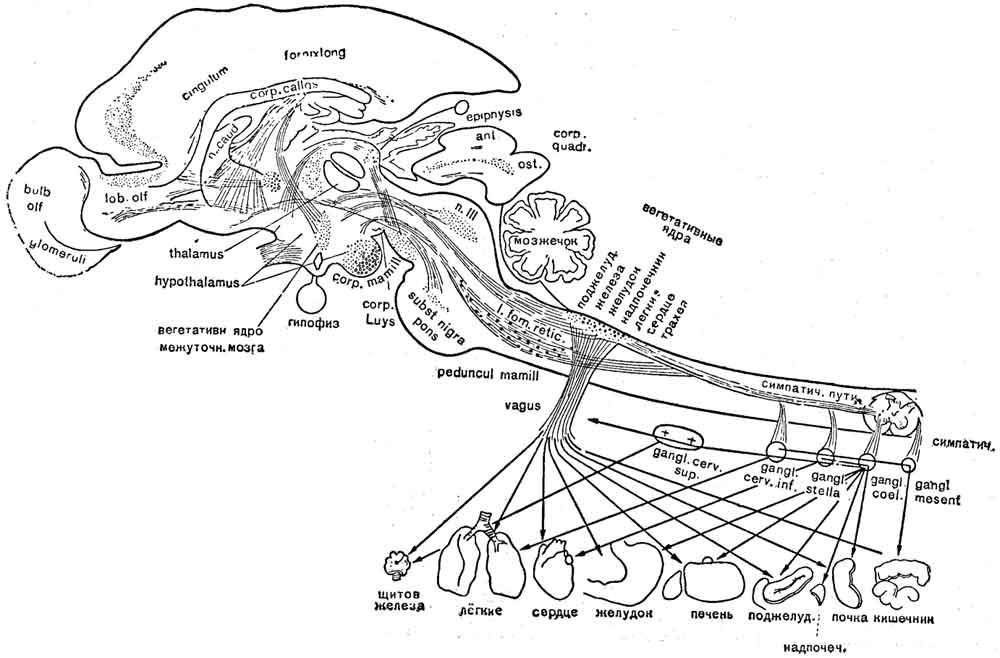 Вегетативные центры головного мозга