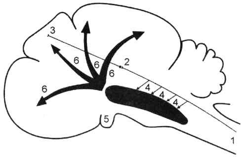 Схема восходящего активирующего влияния ретикулярной формации