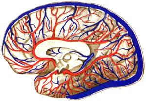 Взаимоотношение поверхностных вен на латеральной поверхности полушария с ветвями средней мозговой артерии, выходящими из боковой щели мозга. Калибр крупных вен увеличивается по мере уменьшения калибра крупных соседних артерий