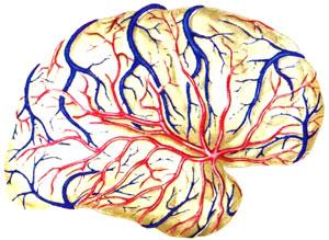Взаимоотношение верхних и нижних поверхностных вен на медиальной и нижней поверхностях полушария с ветвями передней и задней мозговых артерий