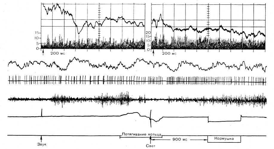 Рис. 21. Биоэлектрическая активность зрительной области коры головного мозга во время различных фаз пищедо- бывательного цикла. Вверху: усредненные вызванные потенциалы и гистограмма активности нейрона (фотография с экрана анализатора); ширина канала на гистограмме — 4 мс. На записи сверху вниз: ЭЭГ, нейронограмма. ЭМГ, отметки звука, потягивания кольца кормушки, света и кормушки.