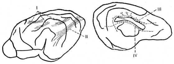 Рис. 26. Схема ассоциативных путей полушарий мозга собаки. I — короткие U-образные волокна; II — затылочно-височный пучок; III — поясной пучок; IV — подмозолистый слой.
