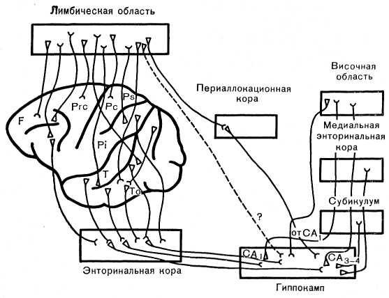 Рис. 29. Принципиальная схема ассоциативных связей дорсального неокортекса с лимбической областью коры, энторинальной корой и гиппокампом. Пунктиром обозначен путь, не подтверждаемый исследованиями последних лет.