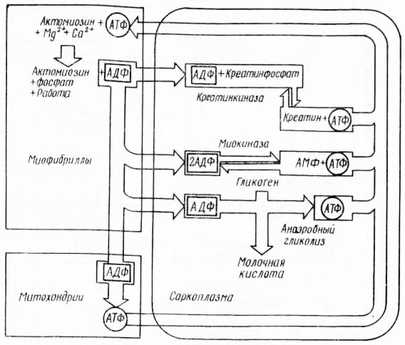 Рис. 7. Энергетический обмен в мышце (из А. Лёви и Ф. Сикевица, 1971)