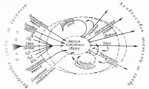 Рис. 8. Схема баланса энергии между организмом и средой (из Г. И. Полякова, 1964).