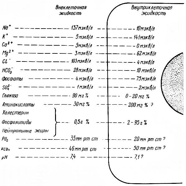 Рис. 10. Наиболее типичный состав внутриклеточных и внеклеточных (тканевых) жидкостей у человека (из К. Вилли, В. Детье, 1974).