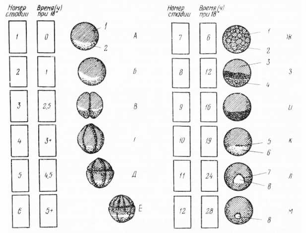 Рис. 15. Развитие лягушки. Rana sylvatica (по У. Бодемеру, 1971)
