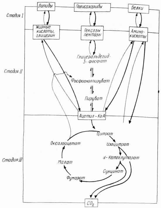 Рис. 1. Три стадии катаболизма и анаболизма (по А. Ленинджеру, 1974)