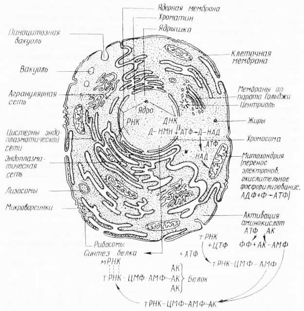 Схема строения клетки, показывающая связь некоторых ферментативных реакций с субклеточными структурами (из К Вилли, Д. Детье, 1974)
