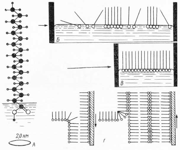 Схема образования молекулярных пленок (из Э. де Робертиса, В. Новинского, Ф. Саэса, 1973)