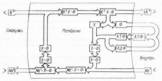 Предполагаемый механизм «калий-натриевого насоса» с одним переносчиком (из Лёви и Ф. Сикевиц, 1973)