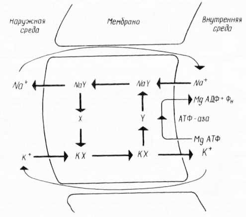 Предполагаемый механизм «калий-натриевого насоса» с двумя переносчиками X и Y (из К. Вилли, В. Детье, 1974)