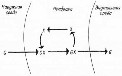 Схема облегченной диффузии глюкозы через мембрану (из К. Вилли, В. Детье, 1974)