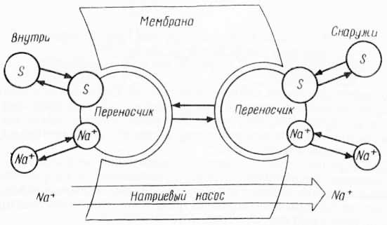 Натрий-зависимый перенос сахаров (из А. Лёви и Ф Сикевица, 1971)