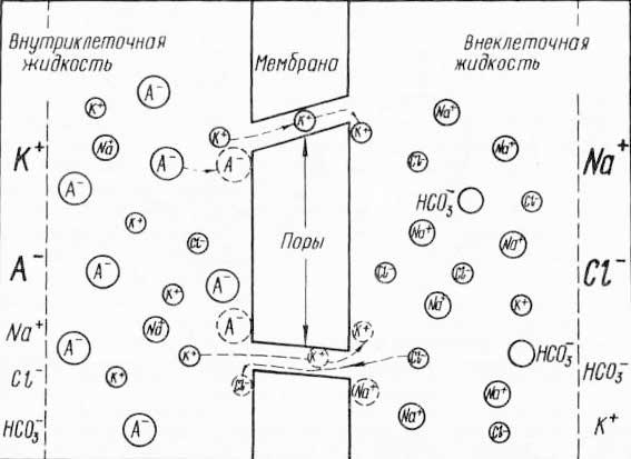 Образование мембранного потенциала за счет градиента концентрации (по Вудсбери, 1962)