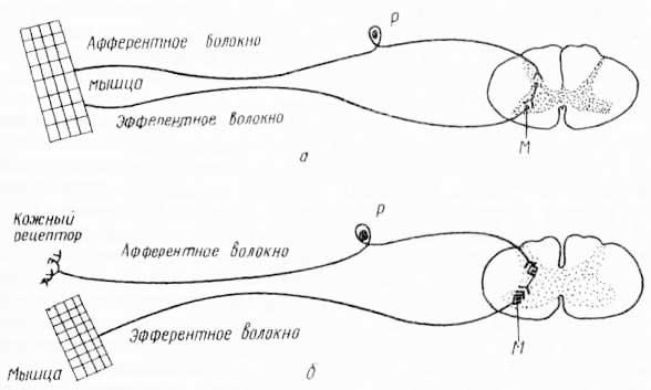 Схема двухнейронной (А) и трехнейроннои (Б) дуг спинномозгового рефлекса