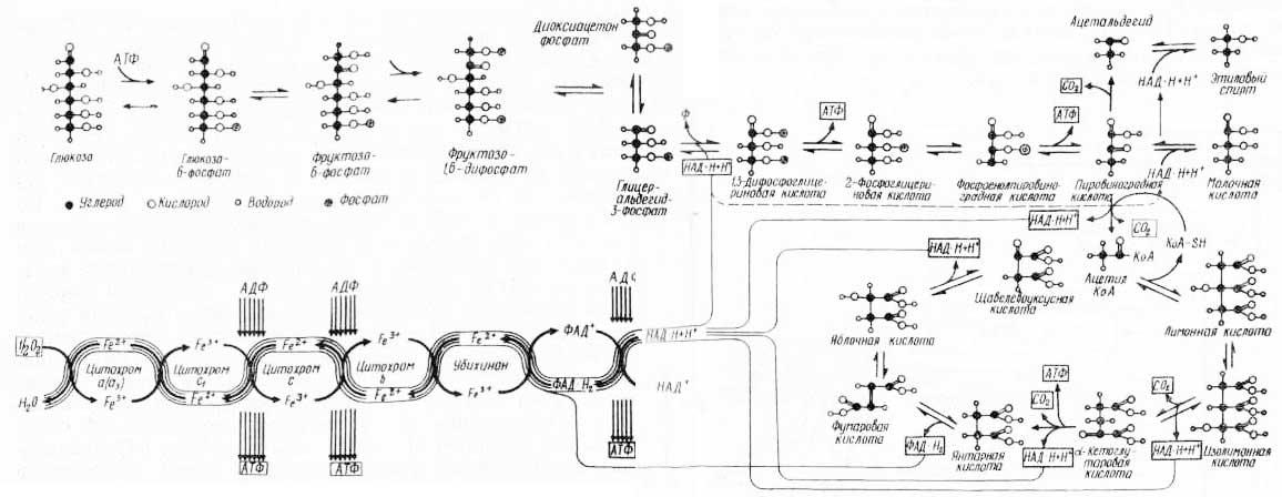 Рис. 4. Схема дыхательного обмена и синтеза АТФ