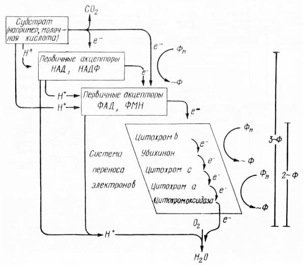 Рис. 5. Схема «электронного каскада» (из К. Вилли, В. Детье, 1974)
